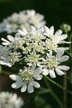 Orlaya grandiflora (Seeds)