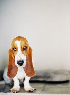 Basset Hound - I am a sucker for this face.  This is why Jenna owns my couch.  And my chairs.  And the back seat of my car.