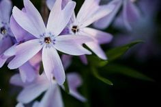 Phlox looks deceptively delicate.