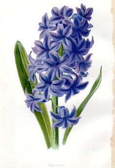 1887 Antique Hyacinth Purple   Botanical Print Lithograph Vintage Flower Home Decor