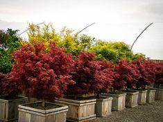 Acer palmatum 'Shaina' - Rohr's Nursery - Massillon, Ohio Easy Plants To Grow, Easy Care Plants, Backyard Plants, Backyard Farming, Plants For Small Gardens, Trees Online, Acer Palmatum, Garden Soil, Gardening