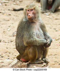 Baboon Monkey chilling in the zoo - csp22200169 #Photography #StockPhotography #Art #portfolio #Portrait #Pharaoh #Lightplay #Landscape #IslamicArt #Nature #Chess #Pets #FigurePhotogrpahy #ProductPhotography #NightLife #Abstract #Sea #Ocean #Coffee #Africa #Egypt #Oriental #Vacation #Sky #Toys #Historic #Landmark #Calligraphy #Monkey #desert #Sunset #Background #Oud #Arabian #Minions #Christmas #NewYear2015 #Card #ChristmasCard