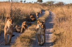 Lion numbers have declined by 95% over the last 50 years, from an estimated 350,000 to as few as 25,000 but a 17-year-old is trying to help them!