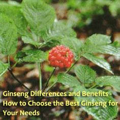 Ginseng is grown in many parts of the world. The roots are the part of the plant used for all Ginseng products. Each variety has its own health benefits.