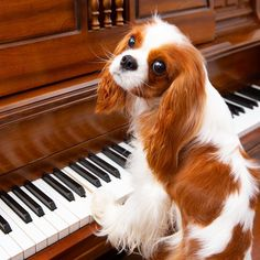 Cavalier King Spaniel, Cavalier King Charles Dog, King Charles Spaniel, Teacup Puppies For Sale, Cute Puppies, Cute Dogs Breeds, Cute Baby Dogs, Spaniel Puppies, Cute Little Animals