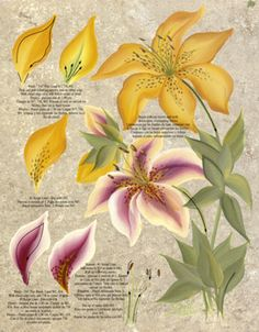 One Stroke Lilies Teaching Guide Packet by Folk Art