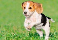 Beagle is one of the most popular dog around the world! Find amazing beagle pictures and HD wallpapers in this article and share them with your friends! Beagle Breeds, Cute Dogs Breeds, Small Dog Breeds, Small Breed, Pocket Beagle, Art Beagle, Beagle Puppy, Funny Animal Videos, Funny Animals