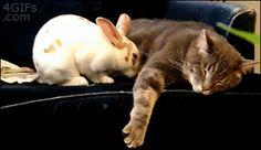「寝てるの?ねぇ、寝てるの??じゃあ、オイラも!」 ネコが好きすぎなウサギ、テラカワユスw
