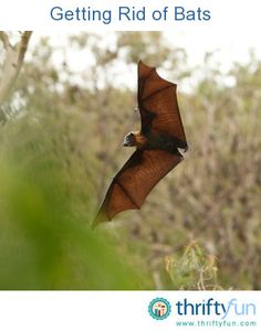 This is a guide about getting rid of bats. Bats are actually very beneficial to have around because they eat an enormous number of bothersome insects such as mosquitoes. However, if they are nesting in your attic, you will probably want to get rid of them.