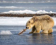 A polar bear cub plays with its food Arctic National Wildlife Refuge USA. | Photo by Ian Plant