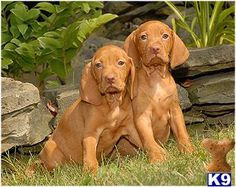 One day I will have a Vizsla