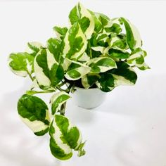 Pothos N'Joy available online or in-store at TERRARIUM