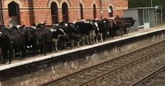 Hever Station, Kent .... Delays caused by invasion of cows