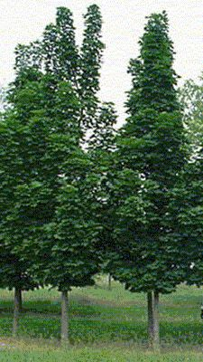 Columnar Norway maple- gets to only 15 feet wide, 25-30ft tall in maturity. This slow growing tree is a beauty! Since it stays so slender it makes a great landscaping tree for tight spaces or up close to the home.