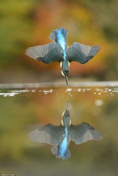 The photographer believes his perfect kingfisher was an adult female around two or three years old