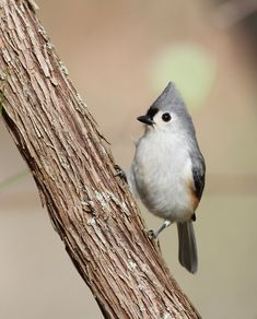 Tufted Titmouse ~ Bill Hubick Photography