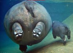 Backside of a mama manatee and her calf :)