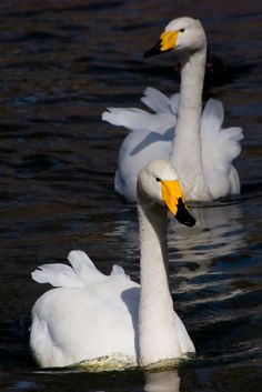 Swan Lake - Two swans float down the lake in the Beijing Zoo in China. - by scarbrd