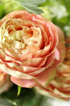 outstanding soft pink & cream rose