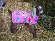 Goat coats Winter kidding can be a bit of a challenge! I made an adult goat coat many many years ago for a doe who always seemed to be cold. Here recently with Iris' buck and doe kids shivering in the c… Goat Clothes, Goats In Sweaters, Small Goat, Goat Pen, Mini Cows, Goat Care, Boer Goats, Dwarf Goats, Sacks