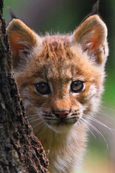 Catamount by Libor A cross between a mountain lion and a bobcat.