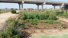 Una de las plantas aromaticas que recomendamos que nuestros hortelanos planten alrededor de su huerto, ya que resultan un buen repelente para los insectos. Plantar, Valencia, Veggie Gardens, Insects