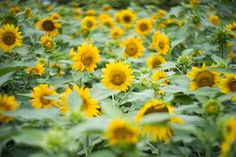 Sunflower Garden - Takahiro Yamamoto - I didn't know such a sunflower field existed in my neighborhood.  Photo Data Place: 東京世田谷 / Setagaya Tokyo Camera: Nikon D810 Lens: Lomography New Petzval Art Lens 85mm f/2.2 -  http://ift.tt/2c1myf3 IFtemppicpinned in Building blocksdownld in ios #August 29 2016 at 08:32AM#via IF