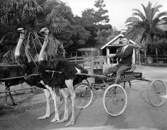 A team of ostriches pulls a man on a cart at the Los Angeles Ostrich Farm near Lincoln Park, ca. 1900.