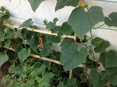 Pepinos, huerto organico