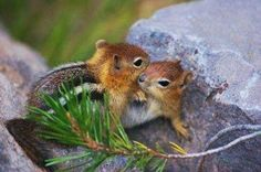 beauties - Chipmonk love