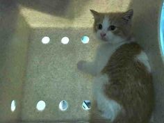 TO BE DESTROYED 5/14/14 ** BABY ALERT! Poor frightened Ali is terrified, and needs our help tonight. Please advocate for her widely or it may be her last night alive. ** Brooklyn Center  My name is ALI. My Animal ID # is A0999328. I am a male org tabby and white domestic mh mix. The shelter thinks I am about 10 WEEKS old.  I came in the shelter as a STRAY on 05/10/2014 from NY 11212