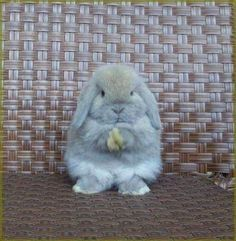 Holland Lop Rabbit is praying? So cute! Cute Baby Bunnies, Funny Bunnies, Cute Baby Animals, Animals And Pets, Cute Babies, Funny Animals, Holland Lop Bunnies, Fluffy Bunny, Cute Creatures