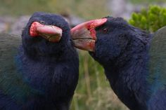 South Island Takahe (Porphyrio hochstetteri) A related species, the North Island takahē (P. mantelli) or mōho is extinct and only known from skeletal remains. Teal Duck, Puffins Bird, Ostriches, Flightless Bird, Interesting Animals, Cardinal Birds, Exotic Birds, Animal Kingdom, Funny Animals