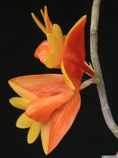 Orchid: Flower-detail of Dendrobium chrysopterum - Gardening Worlds Types Of Orchids, Different Types Of Flowers, All Flowers, Beautiful Flowers, Orchid Flowers, Greenhouse Plants, Garden Plants, Orange Plant, Virtual Flowers