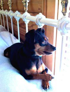 Ember, Ryan's MinPin. (Little Em)  Looks like my Mitzy Girl