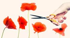 Image result for simplified poppy