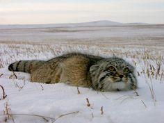 雪に隠れるマヌルネコ