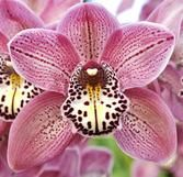 Cymbidium spotted leopard  | Cymbidium Spotted Leopard 'Showtime'