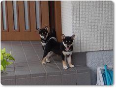 Twins! (Shiba Inu puppies <3)