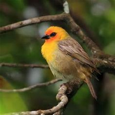 birds of mauritius - Bing images