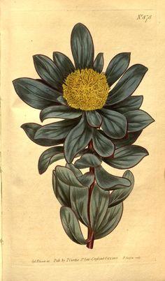 Globe-Flowered Protea (Protea globosa). Curtis's botanical magazine v.21-22 (1804-1805) London ;New York [etc.] :Academic Press [etc.] Biodiversitylibrary. Biodivlibrary. BHL. Biodiversity Heritage Library
