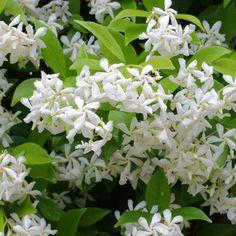 Jasmine Star, Jasmine Vine, Climber Plants, Trachelospermum Jasminoides, Flowering Vines, Autumn Garden, Horticulture, Vegetable Garden, Vegetable Gardening