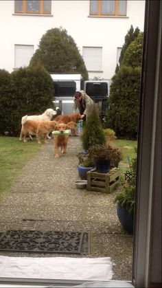 """OMG! My dogs have been trained all wrong! I have a huge crew of four-legged fur babies, at least by most standards. I had no idea there were Golden """"grocery"""" Retrievers. Video."""