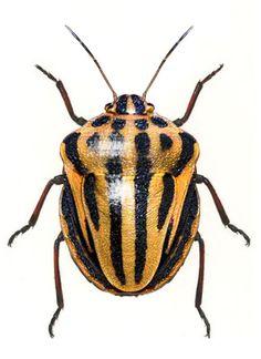 Graphosoma semipunctata yellow variation