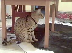 Bengal Cat Wake Up Call