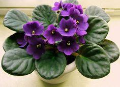 Dag 94/365 Retro Kaapse viooltjes