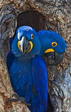 Pretty Birds, Love Birds, Beautiful Birds, Animals Beautiful, Beautiful Couple, Tropical Birds, Exotic Birds, Colorful Birds, Animals And Pets