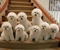 Bichon Frise dog breeds looks like cutest and sweet. Cute Dogs And Puppies, I Love Dogs, Pet Dogs, Dog Cat, Doggies, Cute Baby Animals, Animals And Pets, Funny Animals, Non Shedding Dog Breeds