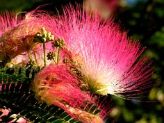 Mimosa flowers. These smell so good!  This is my all time favorite tree.  SO GORGEOUS!!!