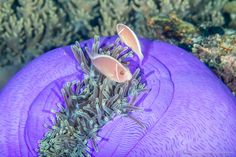 Pink Anemonefish (Amphiprion perideraion) | Flickr - Photo Sharing!